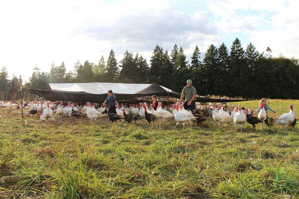 Family Raised herding turkeys