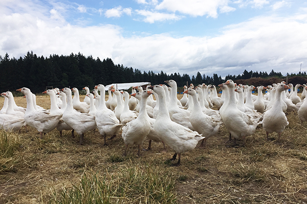 Pasture Raised Goose Geese Oregon